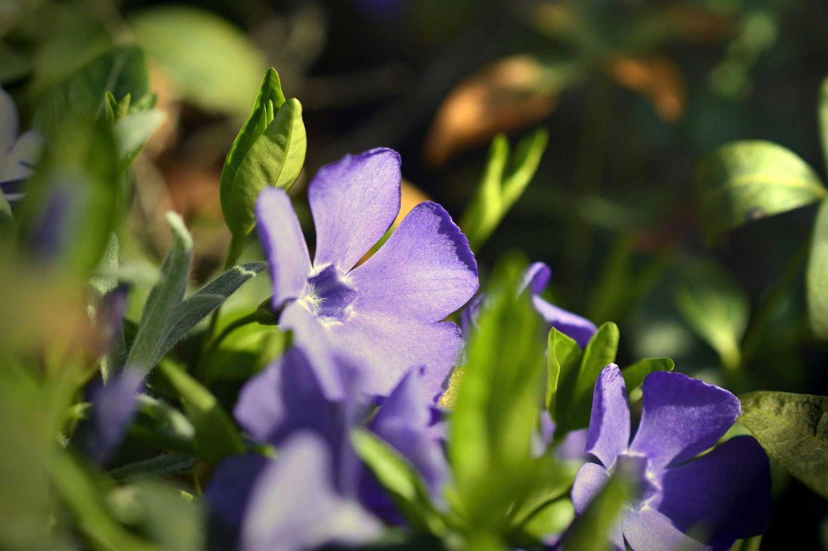Das kleine Immergrün (Vinca minor) ist schön anzusehen, auch im Winter.